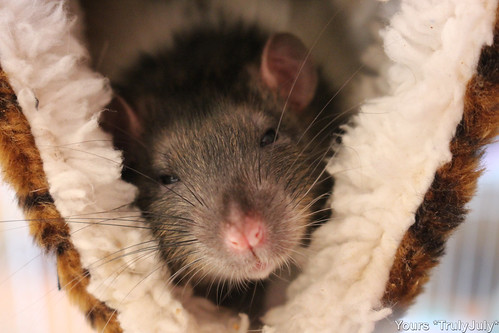 #RatSitting: Pet rat Cappuccino knows how to take it easy, as he's just hanging in there in his comfy fluffy rattie hammock.