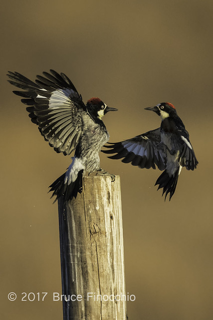 Two Acorn Woodpeckers Face Off