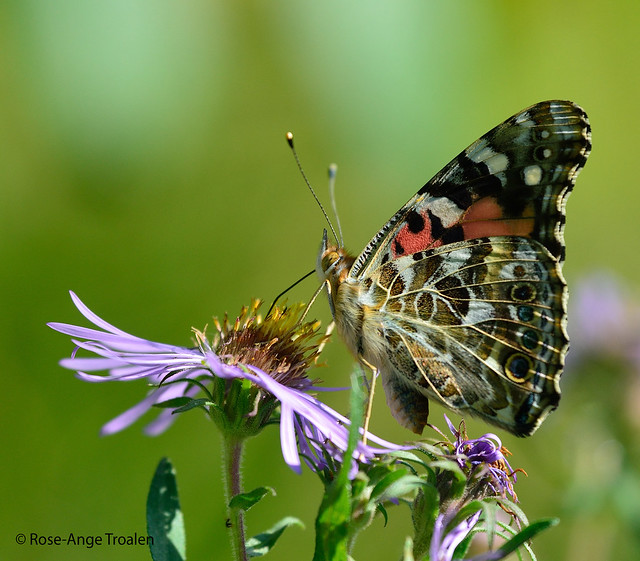 Belle Dame / Painted Lady