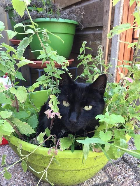 Our Catnip junkie Mikki