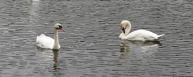 02-08-17 Swan Lake.