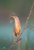Yellow Bittern (Ixobrychus sinensis) 黄苇鳽 huáng wěi jiān by China (Jiangsu Taizhou)