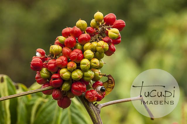 Guaraná ( Paullinia cupana )
