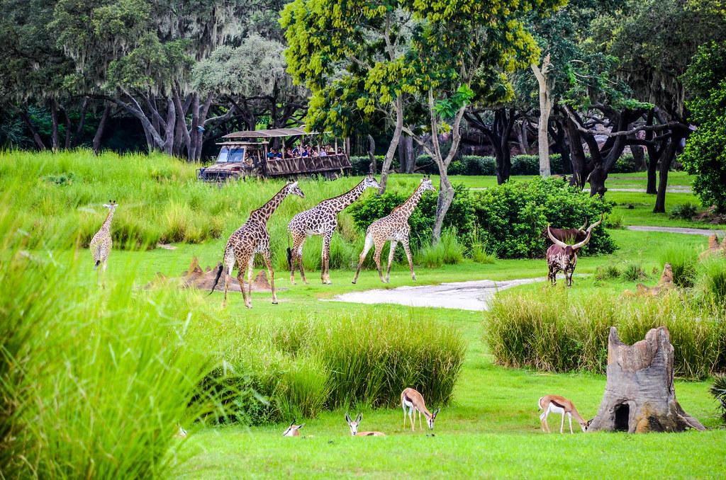 Giraffes savannah WAT AK