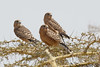 黃眼隼 Greater Kestrel (Falco rupicoloides) juvenile, Kenya by Samson So Photography