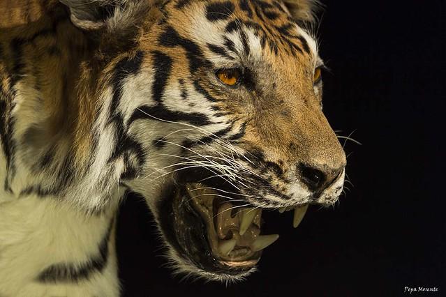 TIGRE, TIGER