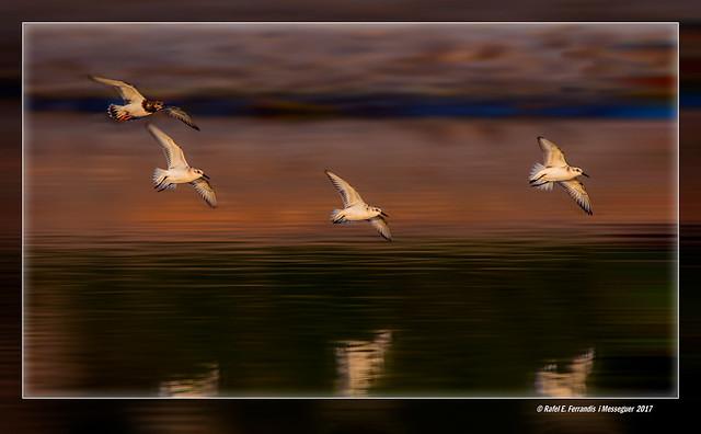 Tres territs tresdits i un girapedres en vol a l'alba (Calidris alba, arenaria interpres)Three Sanderlings and a Ruddy Turnstone flying in sunset light(Estany del Pujol, València, l'Horta, Spain