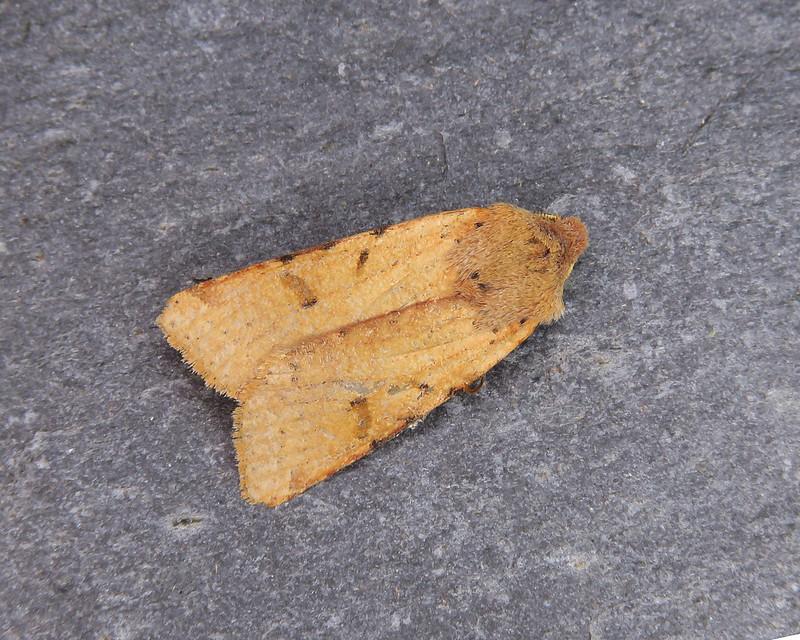 73.186 Beaded Chestnut - Agrochola lychnidis