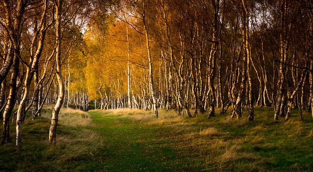 Autumn Birchwood