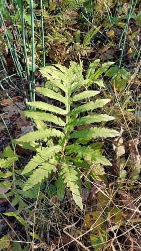 autumn unitedstatesofamerica connecticut flora northamerica nettedchainfern woodwardiaareolata fern redding fall ct usa unitedstates us
