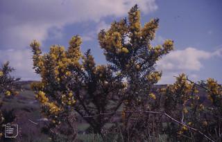 Ulex europaeus, Skibbereech, Cork, 1964 ?