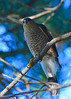 Sharp-shinned Hawk by Ceredig Roberts