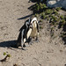 Penguins, Stony Point, Western Cape, South Africa