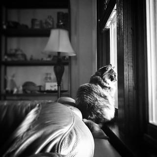 #nosey #gladyskravitz #blackandwhite #catsinwindows #catstagram #catsofinstagram #tortoiseshellcat #tortitude #theresnothingoutthere