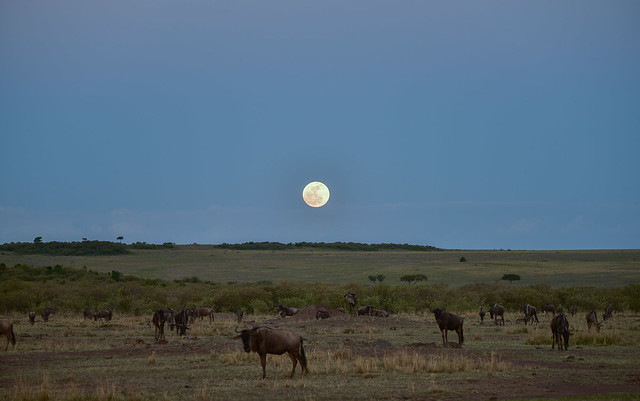 African Safari. Night in savanna.