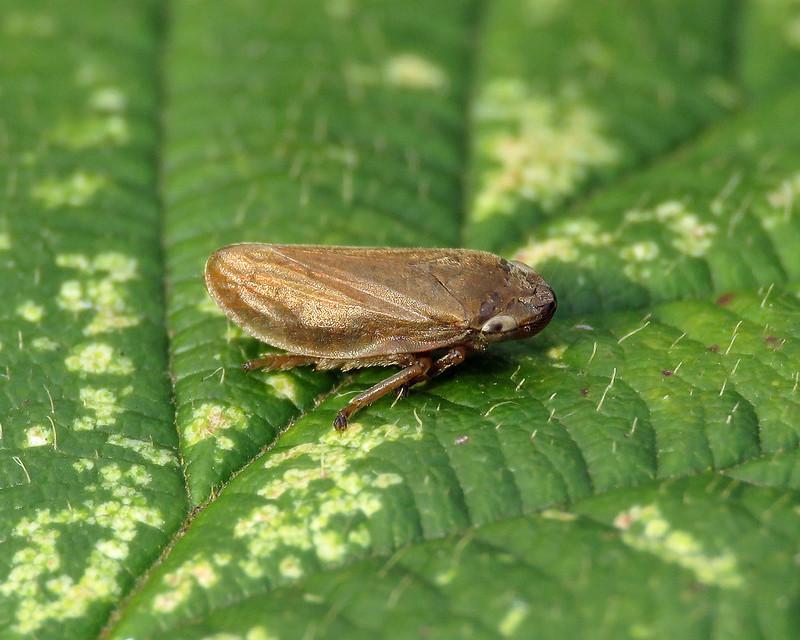 Common Froghopper - Philaenus spumarius