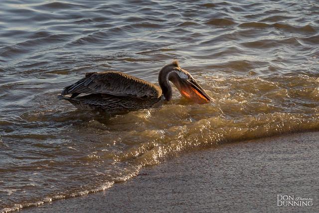 Juvenile Brown Pelican (Pelecanus occidentalis) at Golden Hour