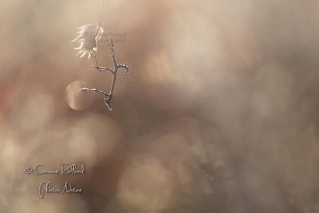 Empuse Diablotin ( Juvénile ) - Empusa pennata #1371
