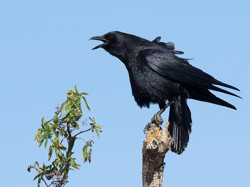 Call of the Crow | by Ingrid Valda Taylar