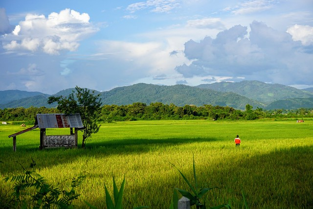 Rice Fields  - Luang Namtha