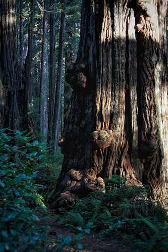 special redwood | by Eddy.H