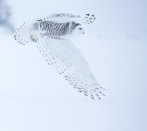 ottawa ontario canada ca snowyowl owl buboscandiacus bubo strigidae typicalowl trueowl nigelje