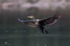 Great cormorant (Phalacrocorax carbo) 普通鸬鹚 pǔ tōng lú cí by China (Jiangsu Taizhou)