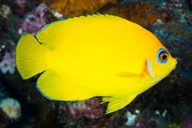 Lemonpeel Angelfish - Centropyge flavissima