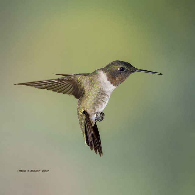 Ruby-throated in form