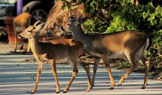Key Deer Pair | by soulsurvivor08
