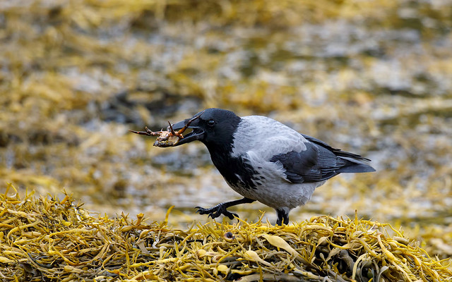 Hooded crow with a crab
