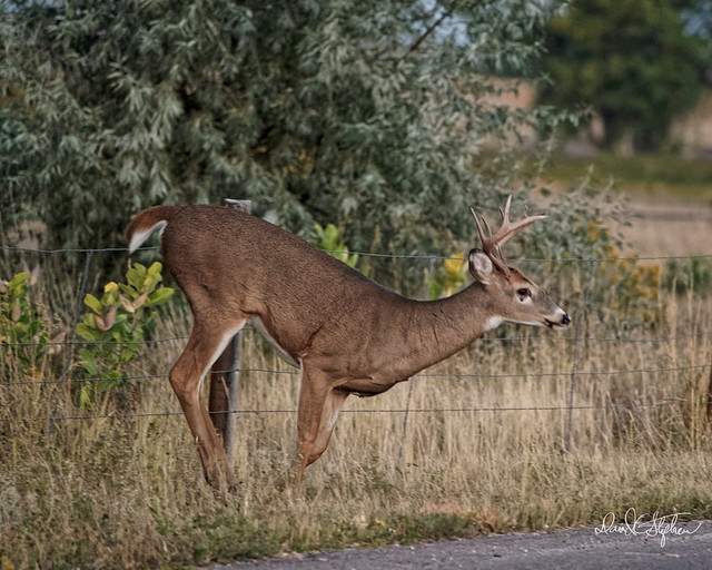 Young Buck Jumps Fence - 16 of 19