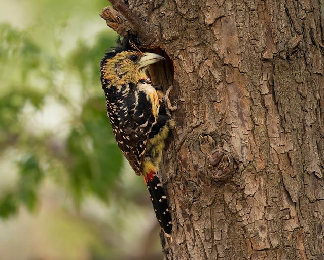 Crested Barbet, Trachyphonus vaillantii, Turk Mine, Bulawayo, Zimbabwe