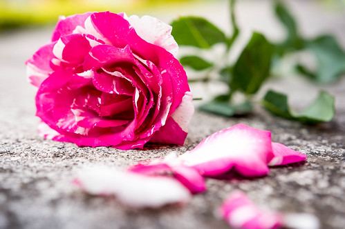 Pink and white rose on the floor | by wuestenigel