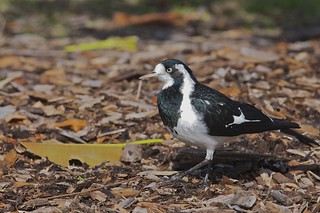 Magpie-lark (Grallina cyanoleuca), Lane Cove National Park, New South Wales, Australia