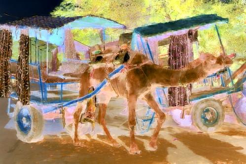 camel india uttarpradesh agra streetlife asienmanphotography asienmanphotoart