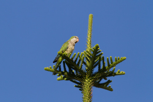 Monk Parakeet | by ipin-by-the-sea