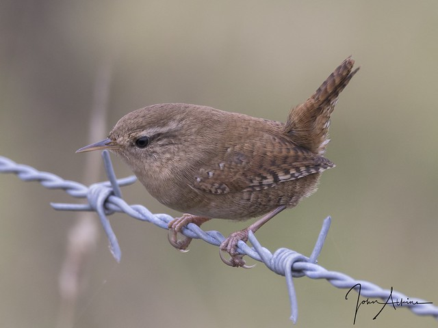 Wren at Ferry Meadows 23/10/17