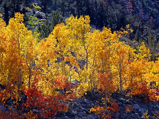 Autumn Color, Bishop Creek Canyon, Sierras 10-17   by inkknife_2000 (10.5 million + views)
