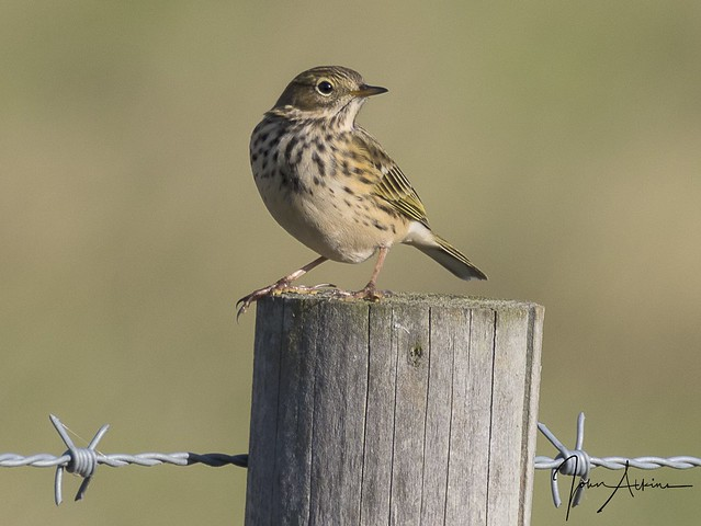 Meadow Pipit at Ferry Meadows.