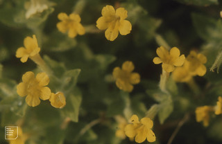 Mimulus luteus. Trackside ditch. Aberdare. August 1975