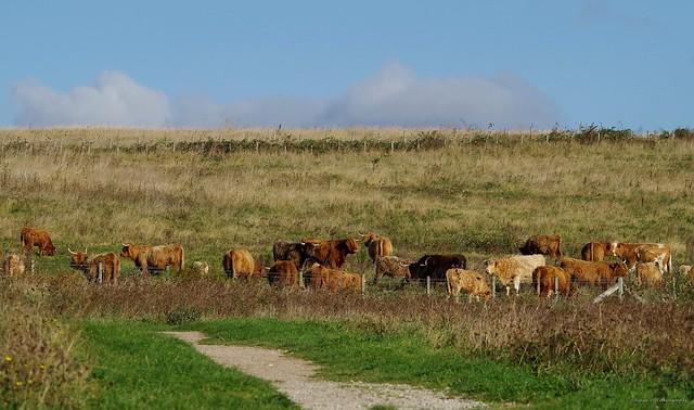 highland cattle (16)