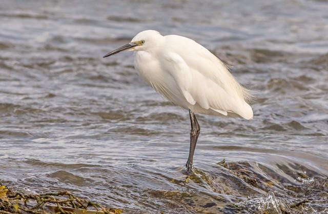 JWL6322  Little Egret..