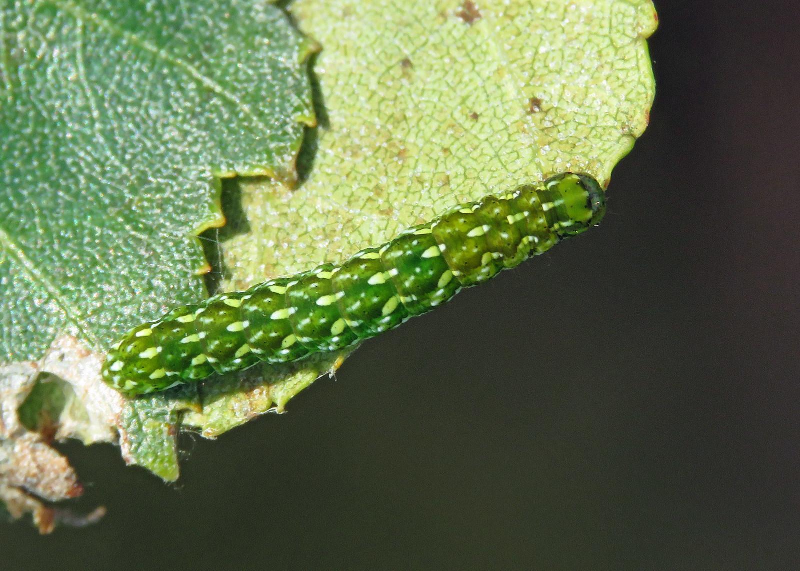 73.257 Beautiful Yellow Underwing - Anarta myrtilli