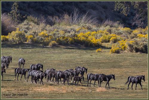 california oakcreekcanyon rabbitbrush feralhorse feralhorses herd horse wildhorse wildhorses