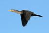 Phalacrocorax auritus (Double-crested Cormorant) 1st year - Edmonds WA by Nick Dean1