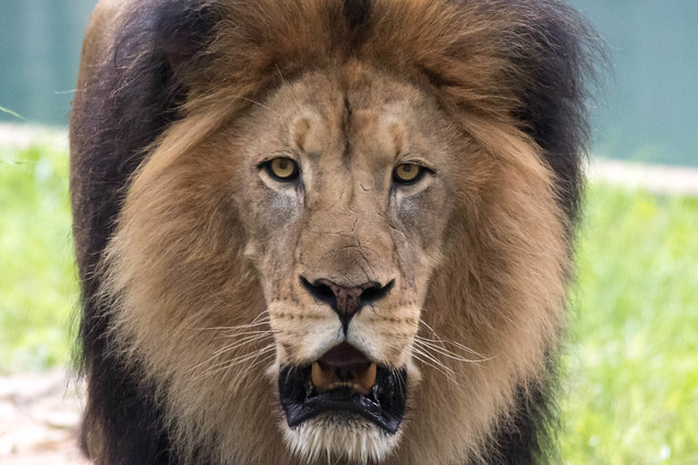 Male Lion with Scars - Closeup-2.jpg