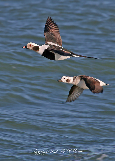 Long-Tailed Ducks (2 of 3) on Cold Early Winter Visit to Barnegat Lighthouse State Park of Longbeach Island in New Jersey