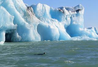 jokulsarlon-seal-glacier | by quirkytravelguy