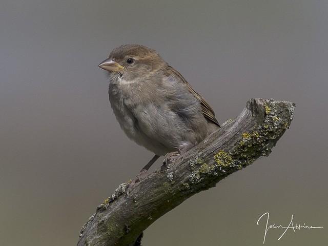 Juvenile Sparrow 12/09/17